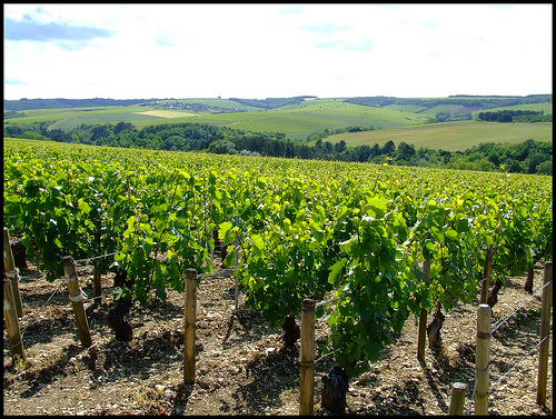 Chablis wineyards