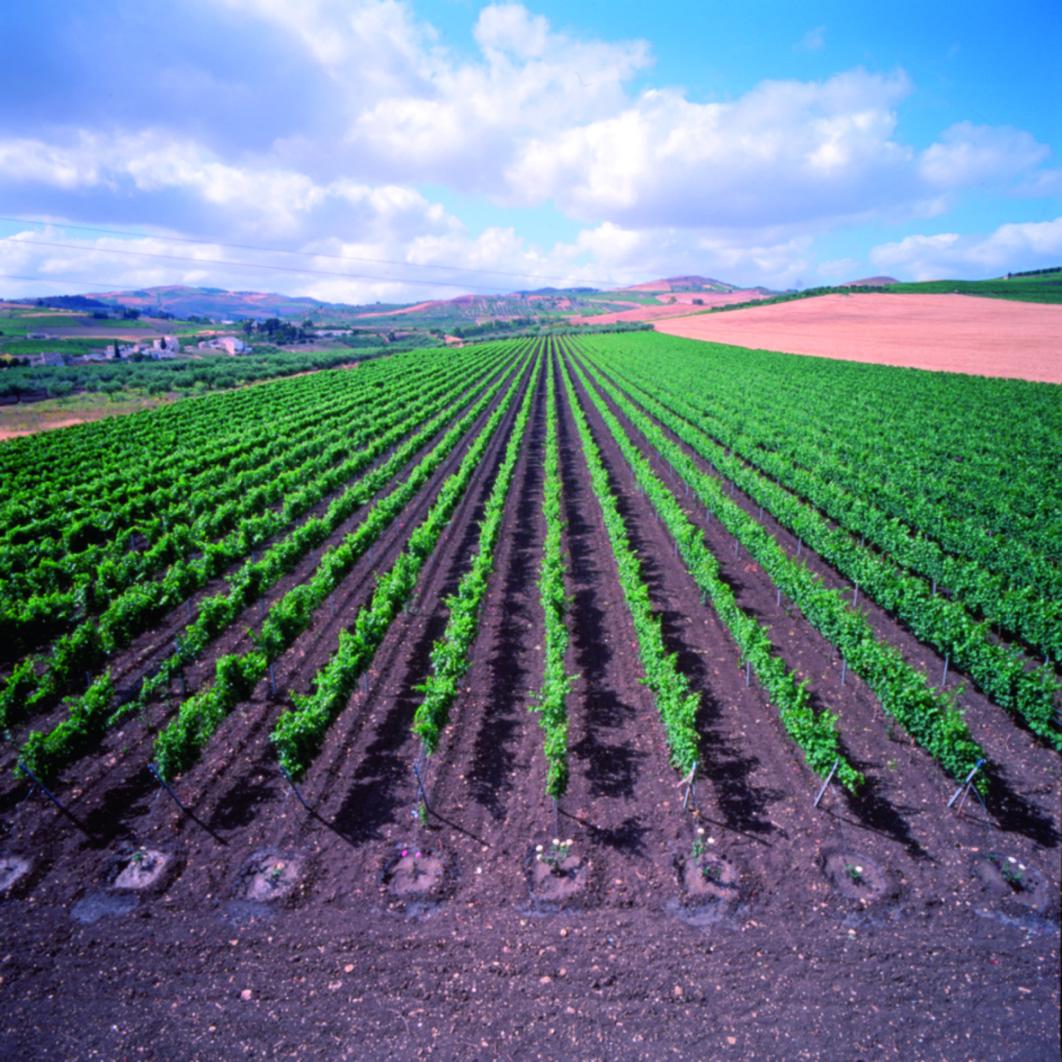 Vinodling på Sicilien