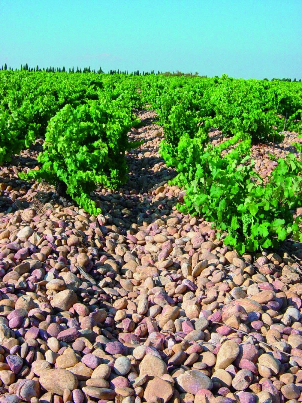 Chateauneuf vinrankor