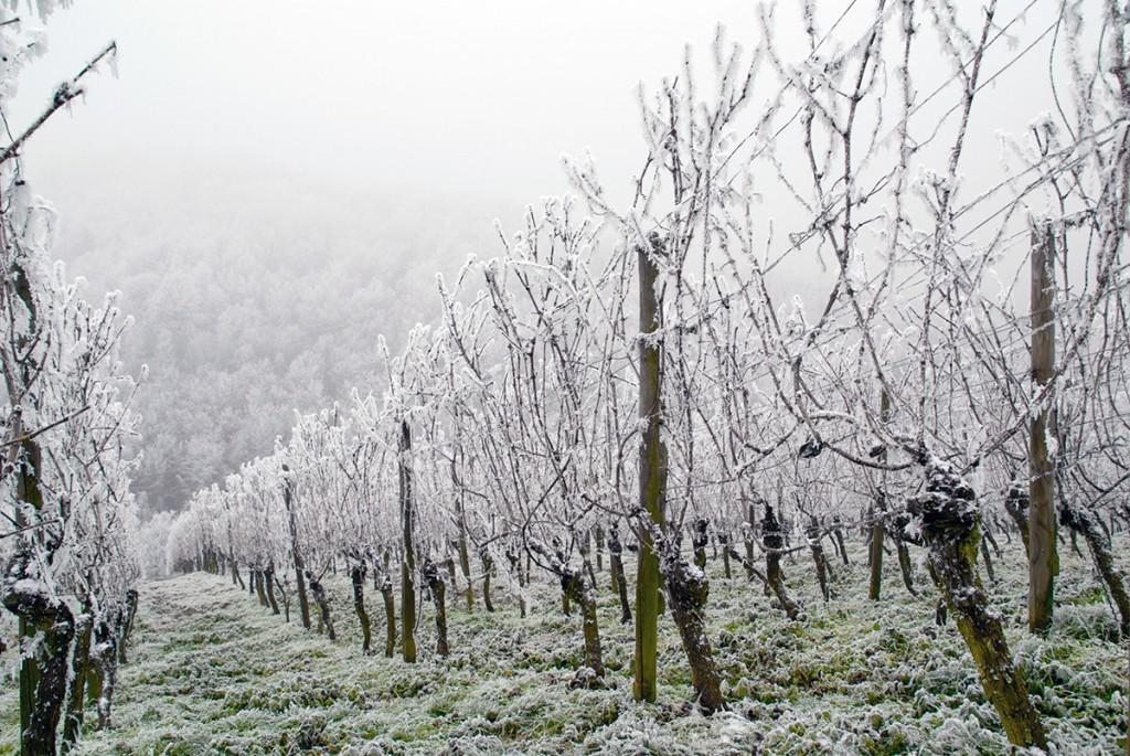 I februari står vinstockarna ofta fulla av is mellan vajerraderna. Copyright:  istock.com