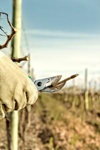 Work in the vineyard Copyright: © Edsel Querini / istock.com