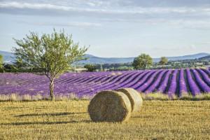 Lavender fält med höbalar, Provence, France ©bbsferrari by iStock