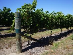 Vinrad med kompost. Pressrester från vinproduktionen blandas med andra organiska material och snäckskal. © C. Raffelt