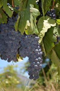 Shirazstock dignar av druvor ungefär en vecka innan skörd. I Franschhoek, Sydafrika.