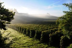 Vingård i Bordeaux