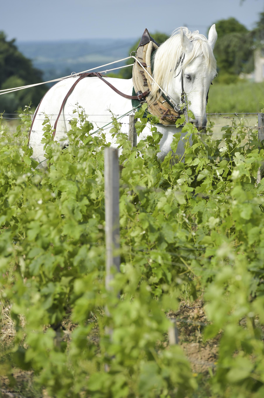 Häst som arbetar i vingård