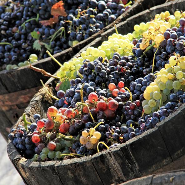 Vindruvor  från skörd 2015