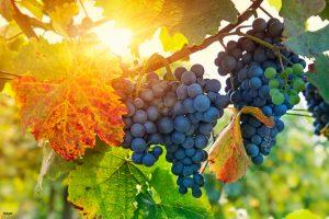Grapes 300x200