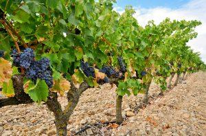 Vindruvor i Rioja.