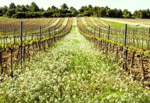 Vår i spanska vingården