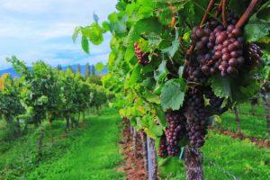 Druvorna är mogna att skördas. Nu ska de snart omvandlas till vin. (källa: koreafreund (CC0-licens)/ pixabay.com)