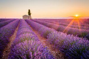 Lavendel Provence 300x200